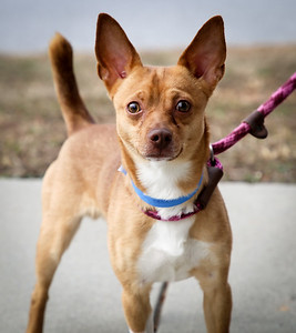 Eli ID#54327 is a 2 year old Chihuahua mix. He's clam and curious, and likes people once he warms up. He's got a great little personality!