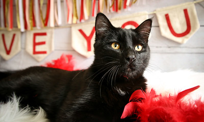 ID#54412 is a 2 year old Purr machine! This guy loves ear rubs and soft blankets!