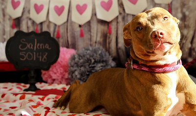 Salena ID#50148 is a 1 year old Pit Bull mix. She's a cuddler, and loves treats and play time!