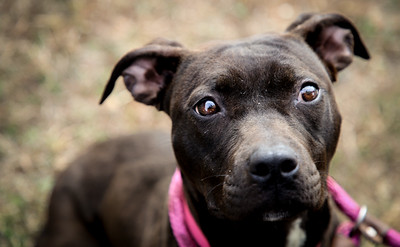 Bree ID#54329 10 month old love bug! sweet, submissive pit bull, lab mix.