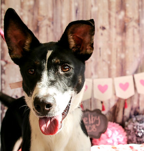 Shelby ID#54208 - 10 month old Border Collie mix.  She loves to jump and play!