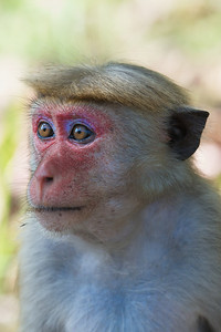 Purple faced monkey