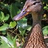 Info Title: Duck