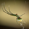 Orchid Orbweaver Spider