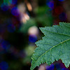Meadowlark Tree Lights in October