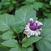 Cabbage Flower?