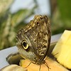 Butterfly on Fruit