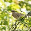 Marsh bird - ClineLynnFH