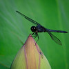 Blue Dragonfly on a Lotus Flower Bud-OlsenJ-2