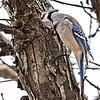 Blue Jay, PSAdj - Blue Jay - ClineLynnFH, FSAdj-Edit-2