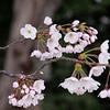cherryblossums-kelbergr-01 jpg-5