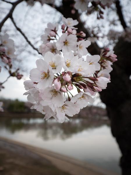 Cherry Blossom - MarionE - 1