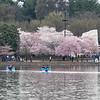 Cherry Blossom - MarionE - 7