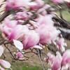 cherryblossums-kelbergr-01 jpg-13