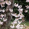 cherryblossums-kelbergr-01 jpg-4
