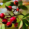 WildbloodM Fruit of the Rose 7 x 5)