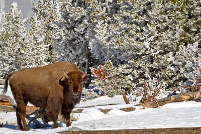 20210614 - Yellowstone Winter - HadyT