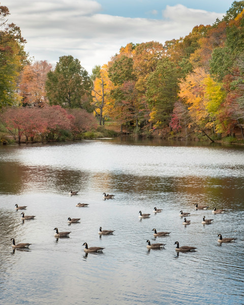 Canadian Geese on Lake