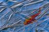 Koi under Ice - Final Image