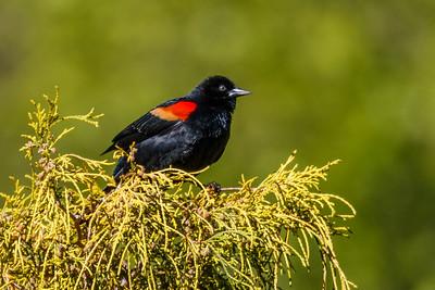 Meadowlark Redwing