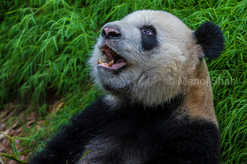Giant Panda yawning