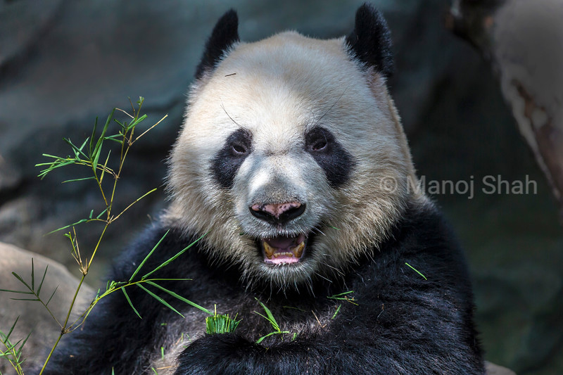 Giant Panda with Bamboo leaves