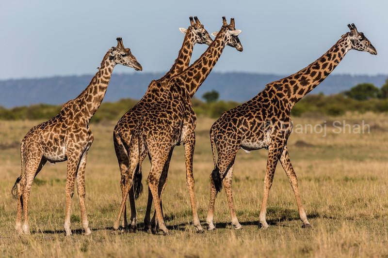 Giraffes in the morning sun