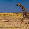 Gitaffe running on the plains