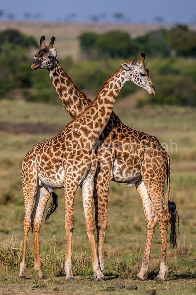 Giraffe babies in Masai Mara.