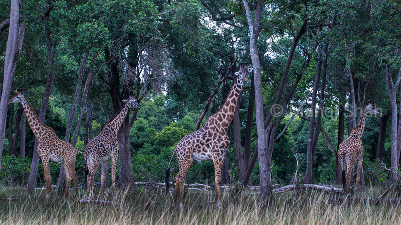 Masai Giraffes browsing leaves on tress in Masai Mara.
