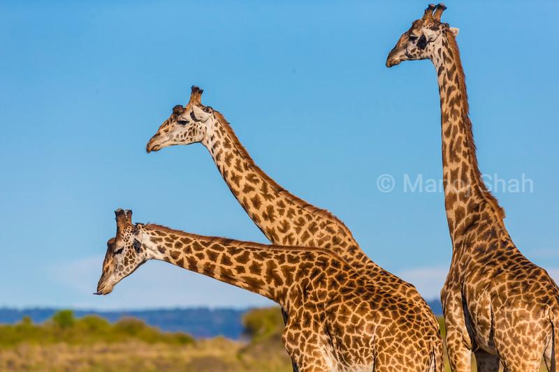 Giraffes in 'necking' mood.