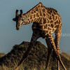 Giraffe bending down to eat small bushes on the ground