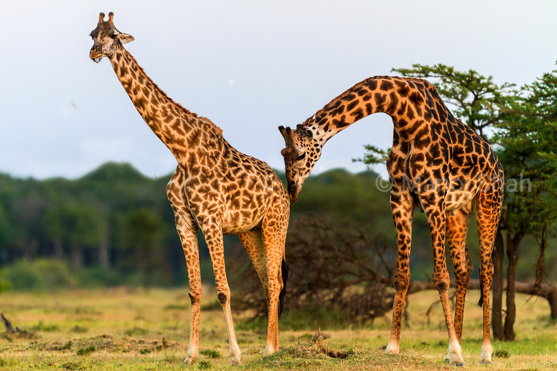male giraffe smelling female.