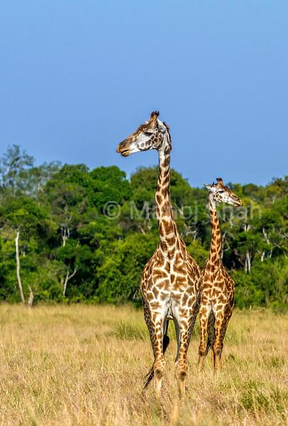 Masai Giraffes scanning the savanna in Masai Mara.