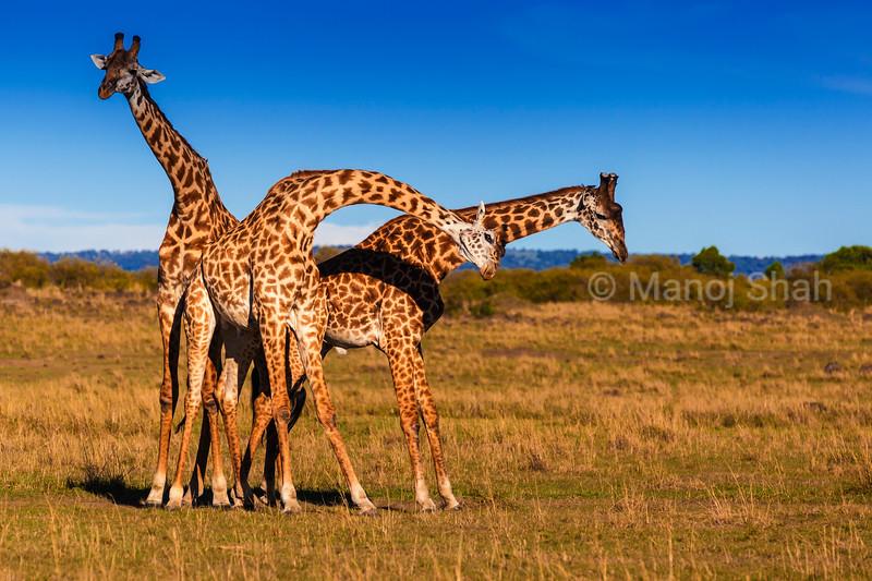 Giraffes in 'necking' mood