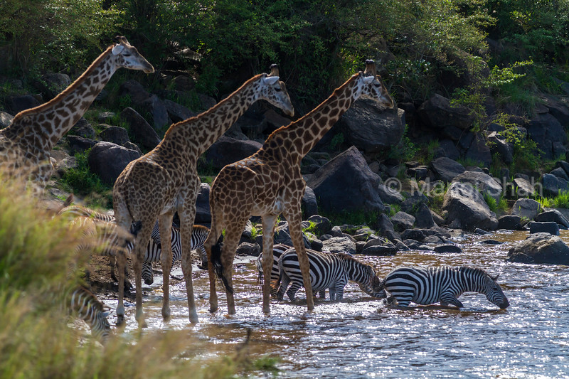 zebra and giraffes crossing river
