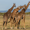 Giraffes 'necking'