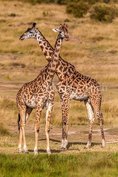 Masai Giraffes in Masai Mara.