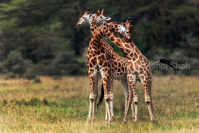 othschilds giraffes necking