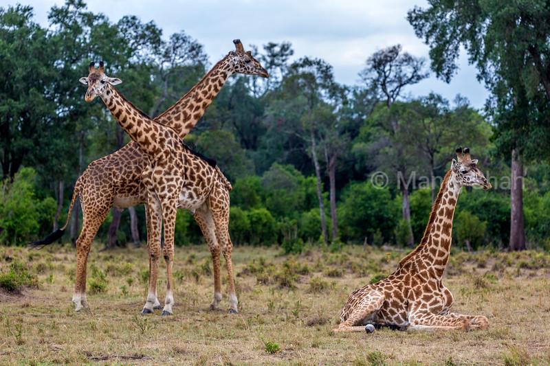 Masai giraffes resting in Masai Mara.