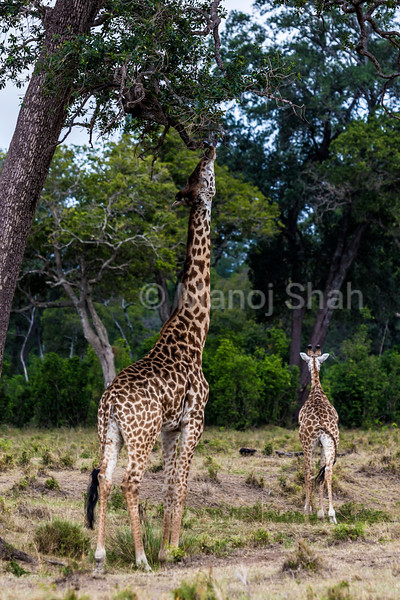 giraffe stretching to reach the higher tree leaves