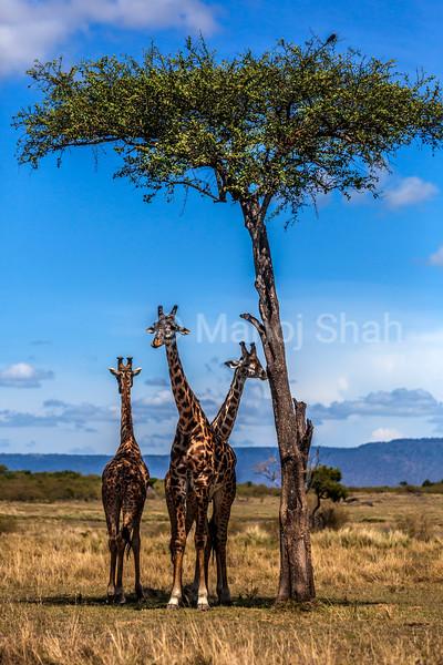 Giraffes under shade