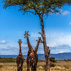 Giraffes under shade
