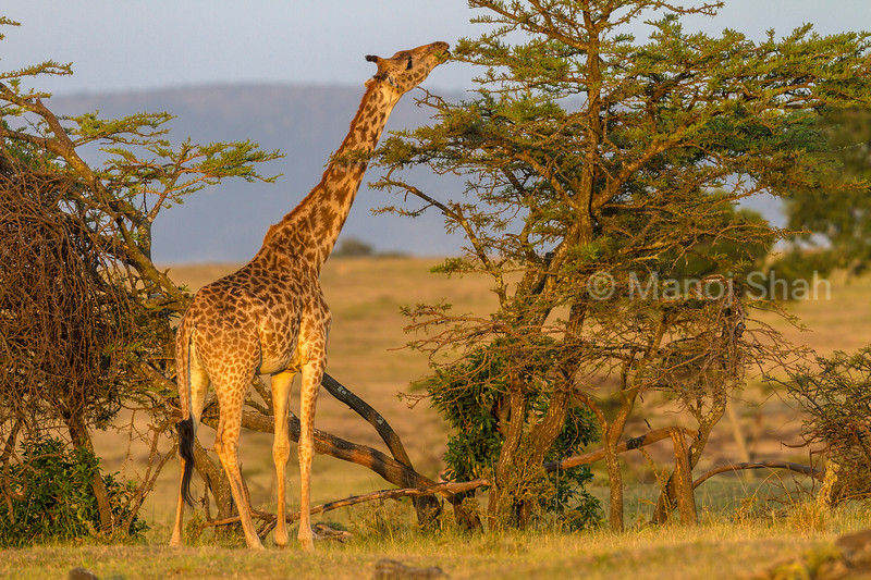 giraffe browsing acacia leaves,