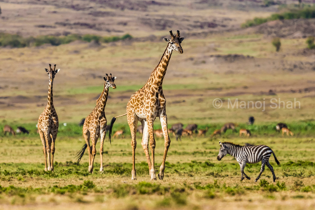 Giraffes walking to the marsh