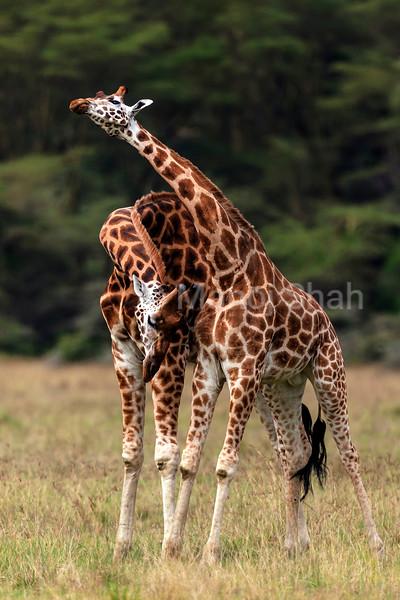 rothschilds giraffes necking
