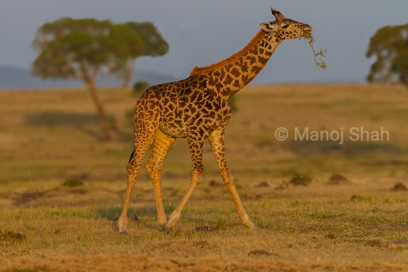 giraffe walikg with acacia branch in its mouth
