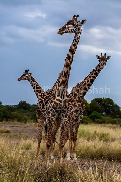 Giraffes oserving wildlife in Masai Mara.