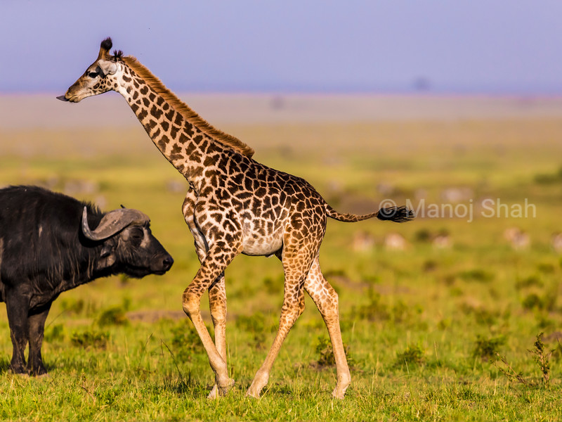 giraffe waling past a buffalo