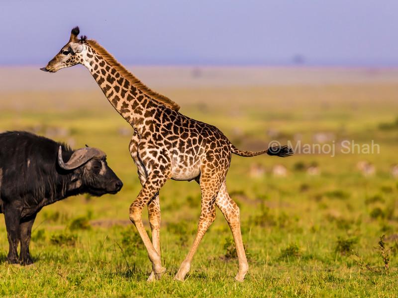 giraffe waling past a buffalo